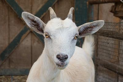 goat-1716