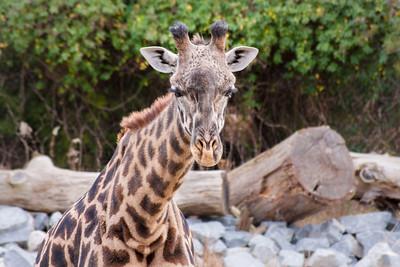 Giraffe-9568
