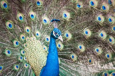 Peacock 3-9487