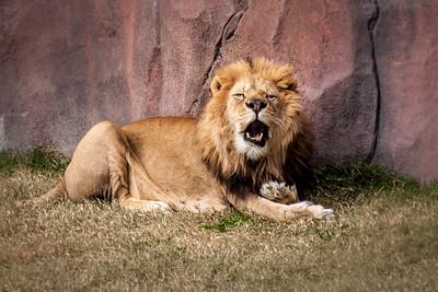 Lion 3-9725