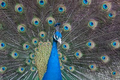 Peacock-9483