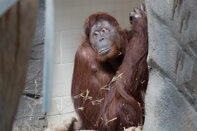 Orangutan-0643