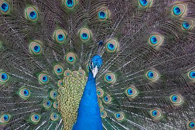 Peacock 2-9484