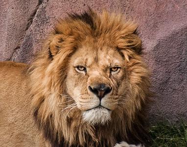 Lion 2-