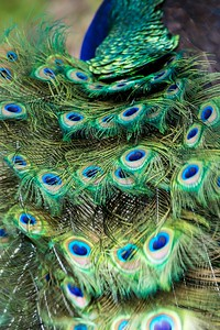 peacock feathers 2-0432