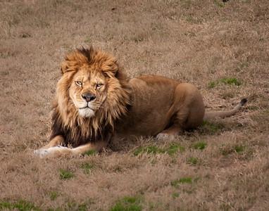 Lion 4-9784