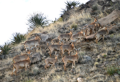 NEA_5328-Barbary Sheep