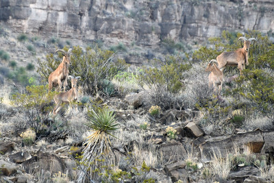 NEA_1471-Barbary Sheep