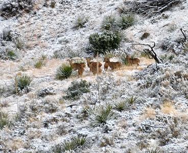 NEA_2358-Barbary Sheep-Snow