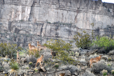 NEA_1488-Barbary Sheep