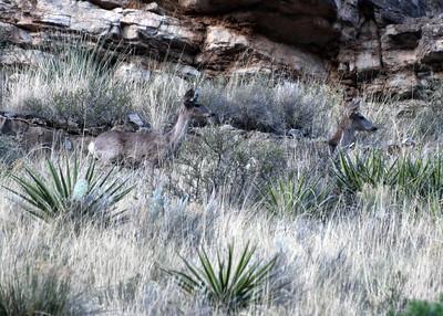 NEA_5364-Deer