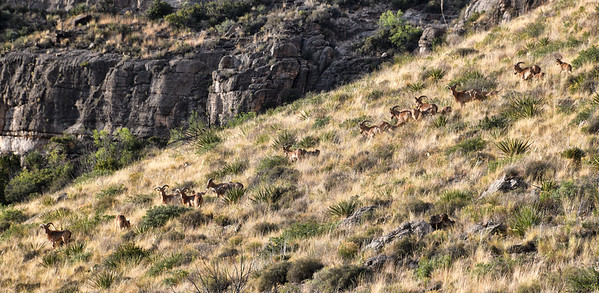 NEA_5282-Barbary Sheep