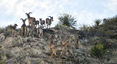 NEA_5342-Barbary Sheep
