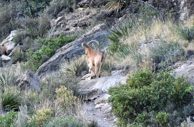 NEA_2665-Barbary Sheep