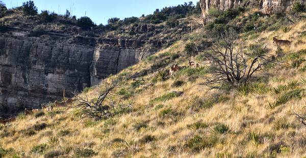 NEA_5296-Barbary Sheep