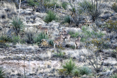 NEA_0207-Barbary Sheep
