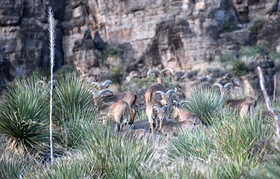 NEA_5359-Barbary Sheep