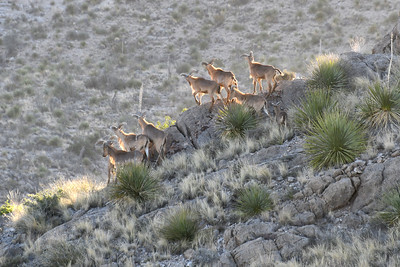 NEA_1519-Barbary Sheep