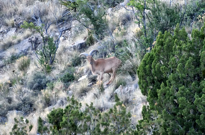 NEA_2674-Barbary Sheep