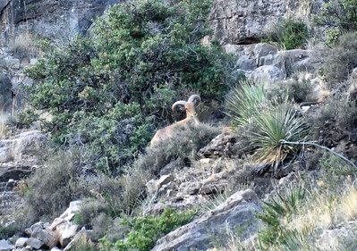 NEA_2669-Barbary Sheep