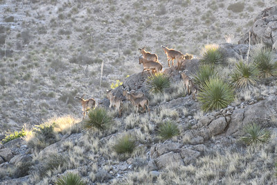 NEA_1516-Barbary Sheep