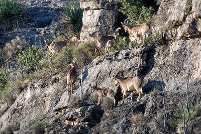 NEA_0060-Barbary Sheep