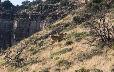NEA_5297-Crop-Barbary Sheep