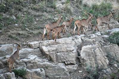 NEA_1232-Barbary Sheep