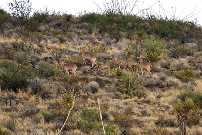 NEA_0217-Barbary Sheep