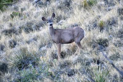 NEA_0229-Deer