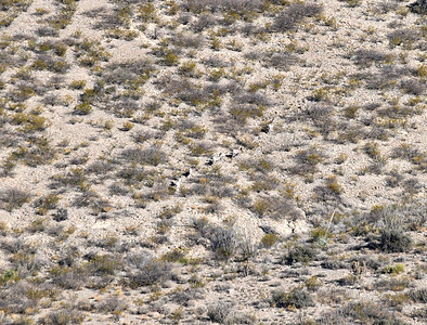 NEA_2679-Bighorn Sheep