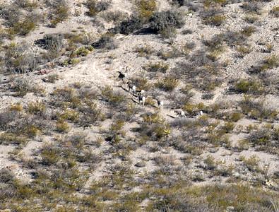 NEA_2653-Bighorn Sheep