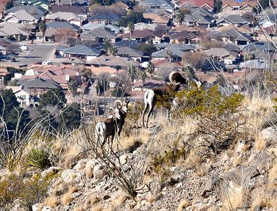 NEA_2650-Bighorn Sheep