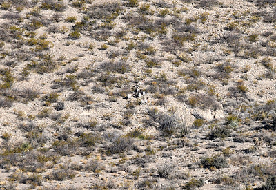 NEA_2677-Bighorn Sheep