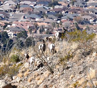 NEA_2646-Bighorn Sheep
