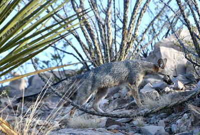 NEA_5406-Gray Fox