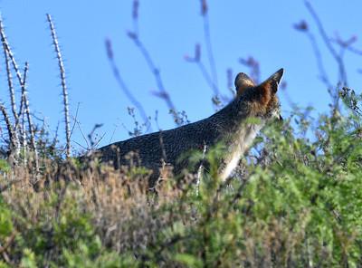 NEA_5408-Gray Fox