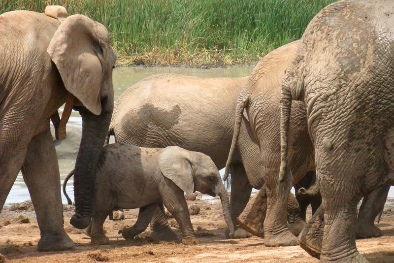ZO 84 Elephants with Baby Port Elizabeth IMG_0797