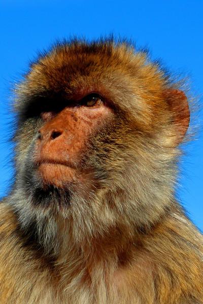 ZO 51 Barbary Ape