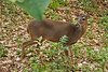 ZO 36 White tail Deer