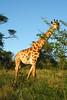 ZO 83 Giraffe IMG_5727