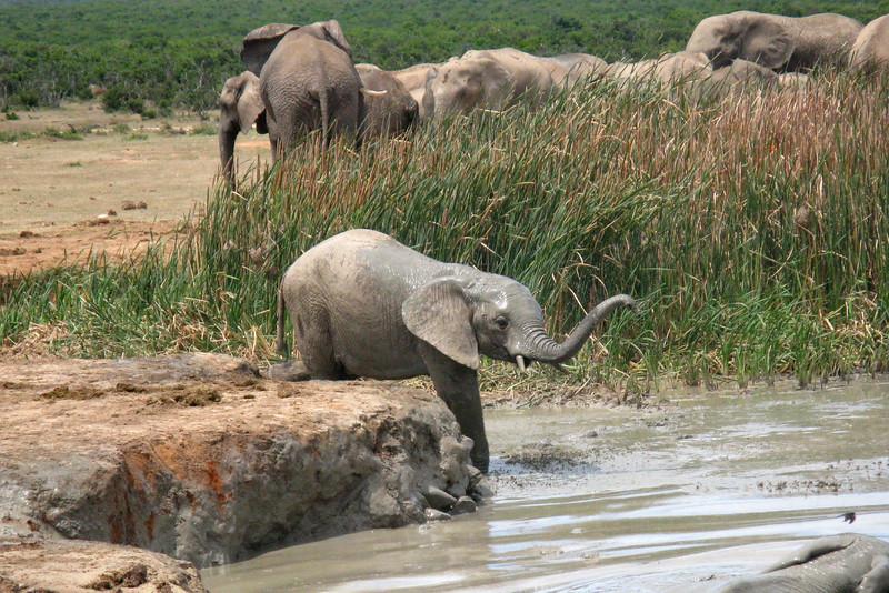ZO 85 Baby Elephant IMG_0806