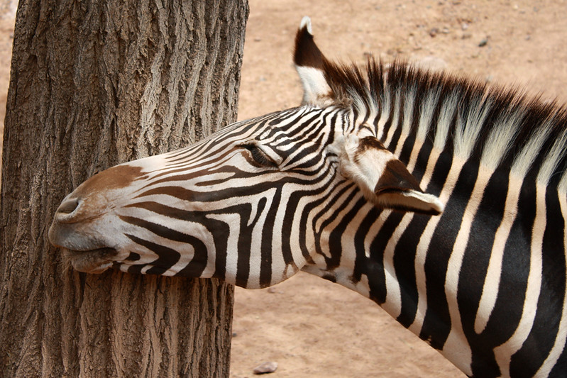 ZO 7 Zebra Head