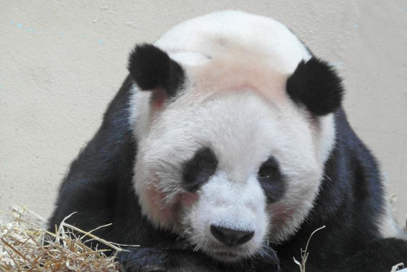 ZO 54 Panda