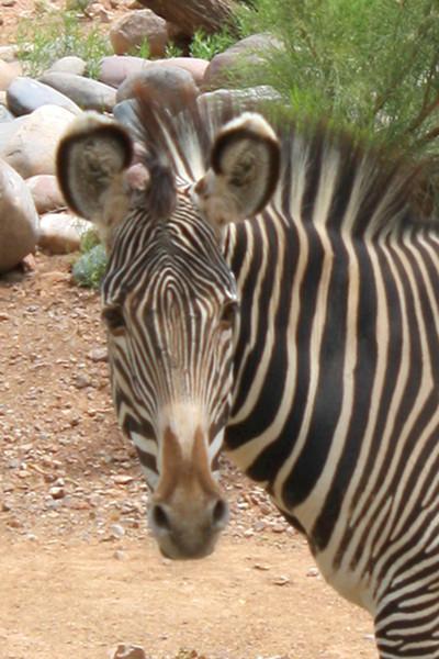 ZO 6 Zebra