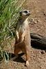 ZO 53 Meerkat
