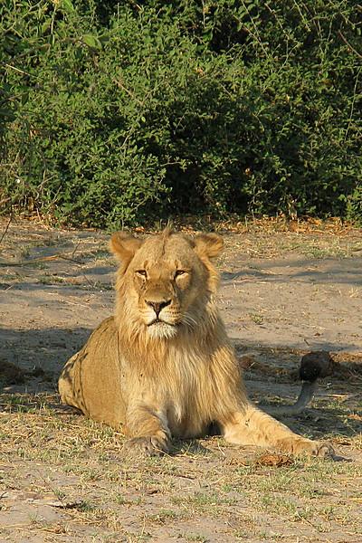 ZO 81 Lion IMG_0210