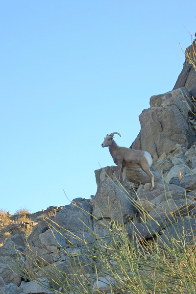 ZO 55 Mountain Goat