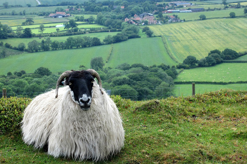 ZO 38 Swalerdale Sheep