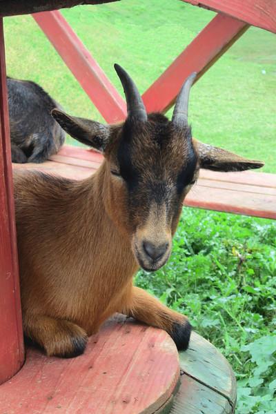 ZO 48 Goat in Lancaster PA